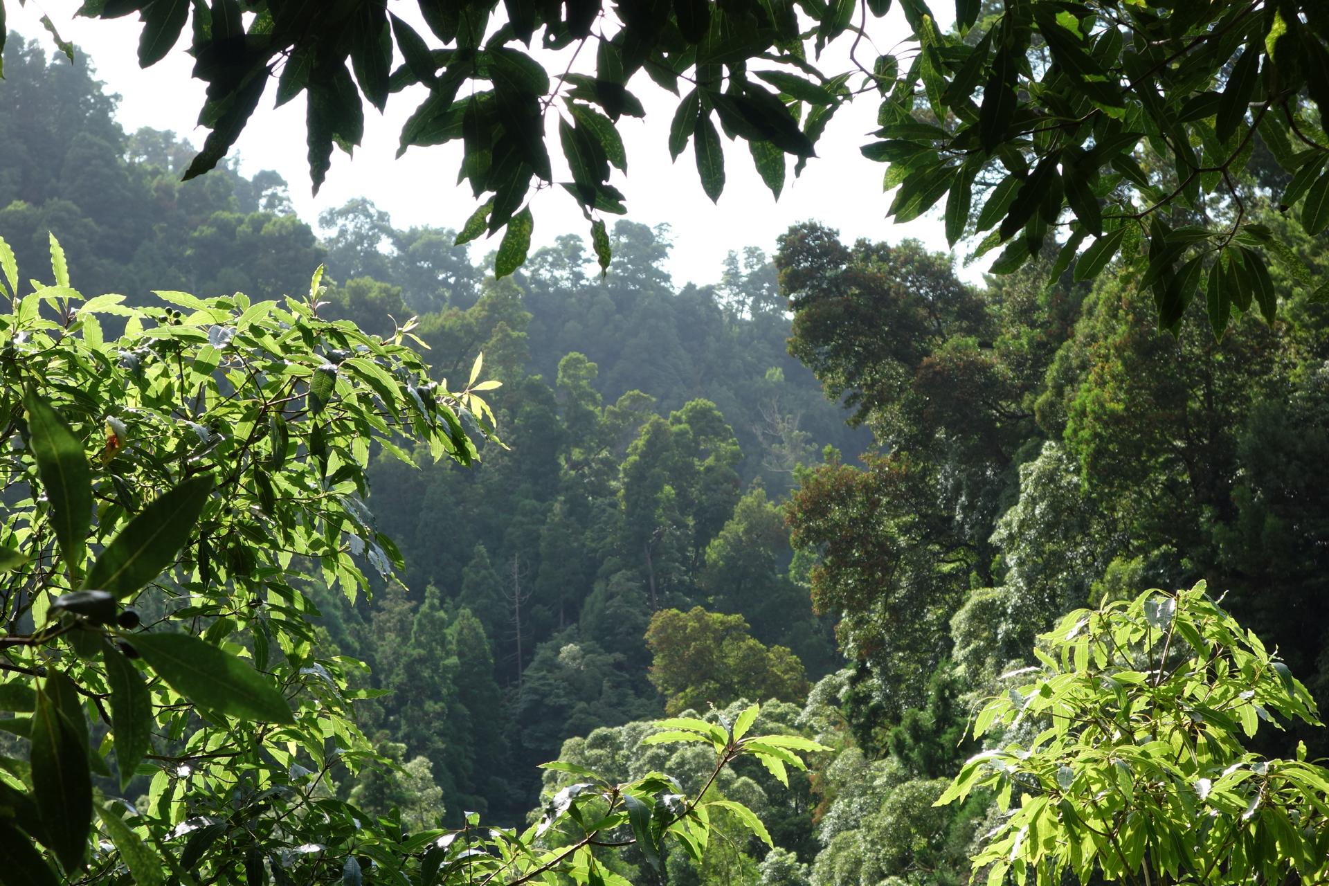 Forêt Açores
